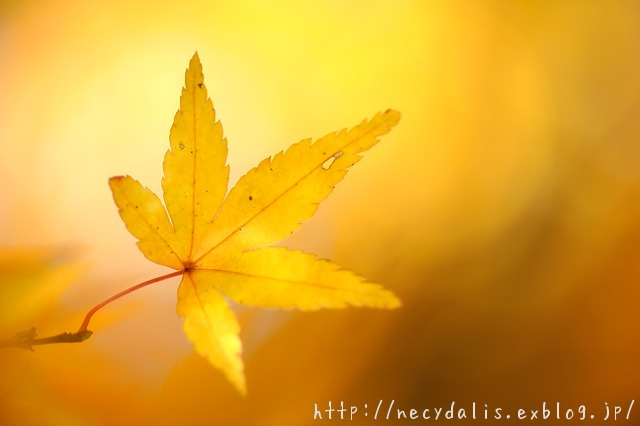 a maple leaf...