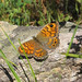 Wall Brown (Colin Wibberley)