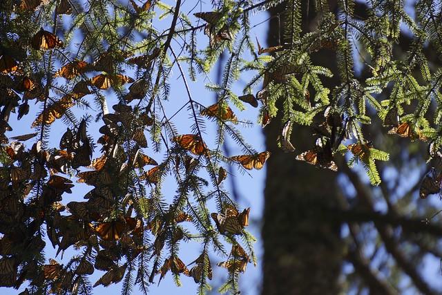 Monarchs 373