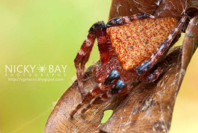 Red Tent Spider (Cyrtophora unicolor) - DSC_3129