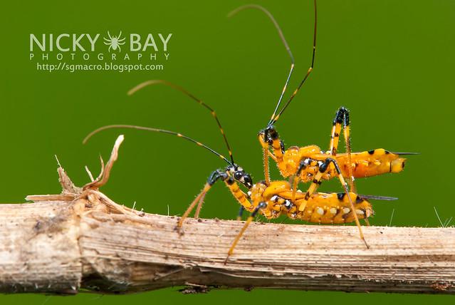 Assassin Bugs (Reduviidae) - DSC_2772