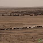 Shepherd on a Donkey in the Desert - Fayoum, Egypt