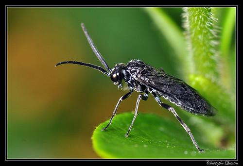 Tenthredinidae
