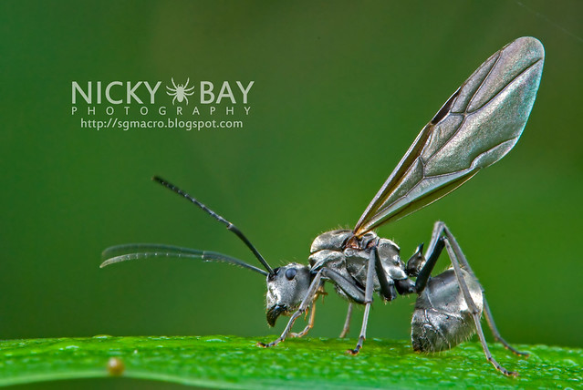 Ant (Formicidae) - DSC_9668
