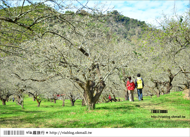 【南投賞梅】信義牛稠坑柳家梅園~超梅景點~via賞梅最前線報導!