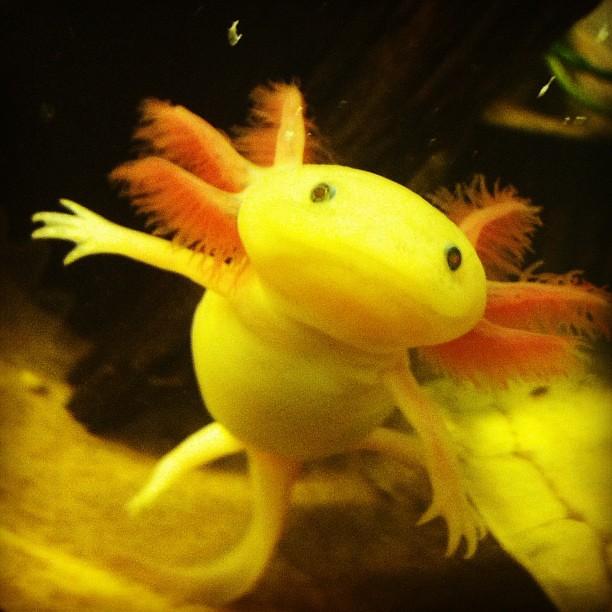 Axolotl gold