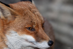 Wiley , I am but a Fox!