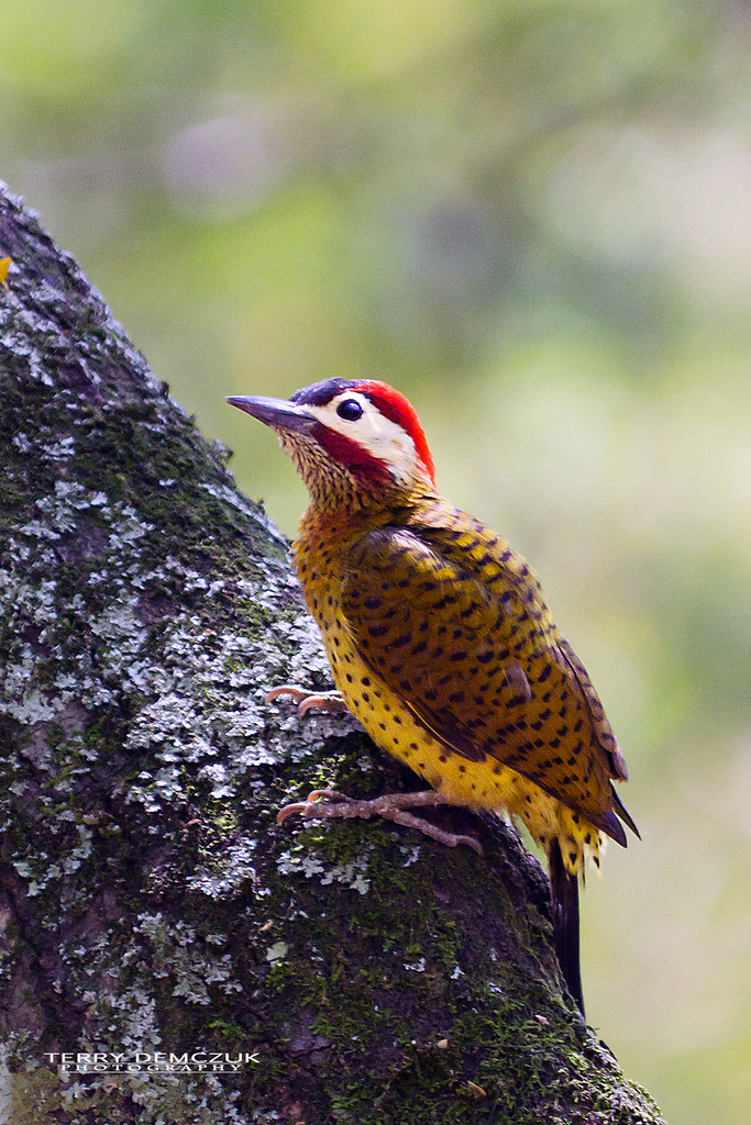 Imagen de una de las aves del Quindio: Carpintero Buchipecoso (Colaptes Punctigula)