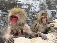 Snow monkey family