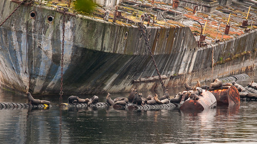 canada animal ship britishcolumbia sealion sunshinecoast concreteship powellriver nikond90 pstani
