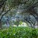 olive trees by engr.Umair khan