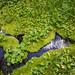 Mimulus lewisii Habitat - Anthony Lakes, Elkhorn Mountains, Oregon by Shaun T Johnson