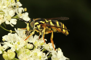 Syrphidae sp (Hoverfly) - Guernsey