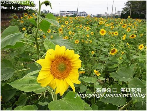 嘉義溪口_溪口花海20121209_R0010802