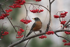 robin-mountain-ash