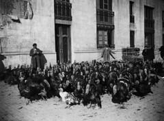 Crèdit foto: Arxiu Pérez de Rozas/Arxiu Fotogràfic de Barcelona: Un grup de galls dindi, camí de la Rambla de Catalunya per ser venuts a la Fira de Nadal.