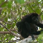 Mother and Baby Howler Monkeys - Morgan's Rock, Nicaragua