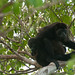 Mother and Baby Howler Monkeys - Morgan's Rock, Nicaragua