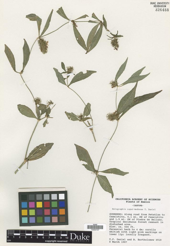 Acanthaceae_Hologaphis caput-madusae
