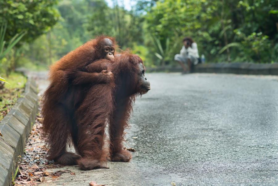 самка орангутан с детенышем
