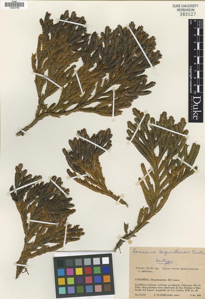 Asteraceae_Loricaria lagunillensis