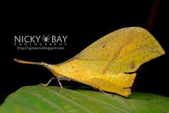 Leaf Grasshopper (Systella rafflesii) - DSC_2485