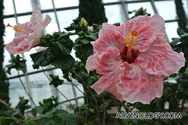 Giant hibiscus in bloom