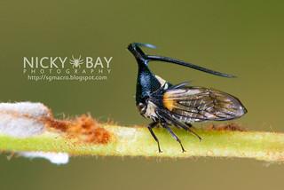 Treehopper (Leptobelus sp.) - DSC_2255