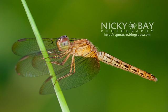 Dragonfly (Anisoptera) - DSC_3510