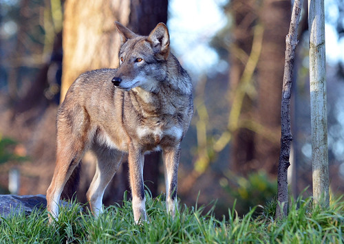 red wolf 8470 by Light of the Moon Photography