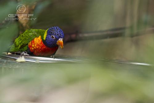 parrot bird rainbowlorikeet leedstropicalworld canoneos60d canon100mmmacrof28usm beak eye head wing purple yellow orange green