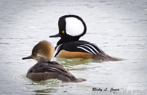 A Pair of Hooded Merganser by Ricky L. Jones Photography