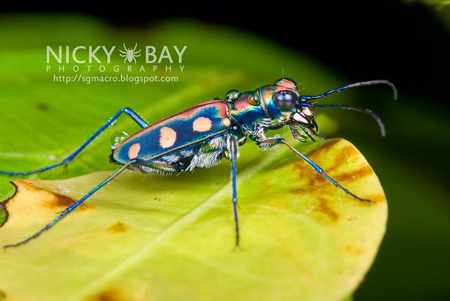 Tiger Beetle (Cicindelinae) - DSC_9253