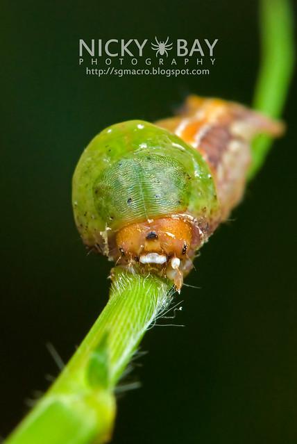 Nolid Moth larva (Nolidae) - DSC_7885