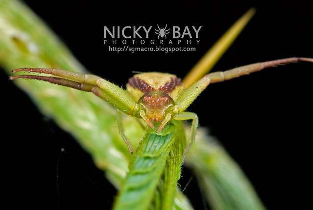 Crab Spider (Thomisidae) - DSC_7605