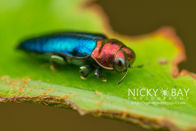 Jewel Beetle (Endelus sp.) - DSC_4190