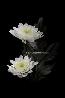 white chrysanthemum 02 _flickr