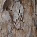 Garden Inventory: Eucalyptus - 02