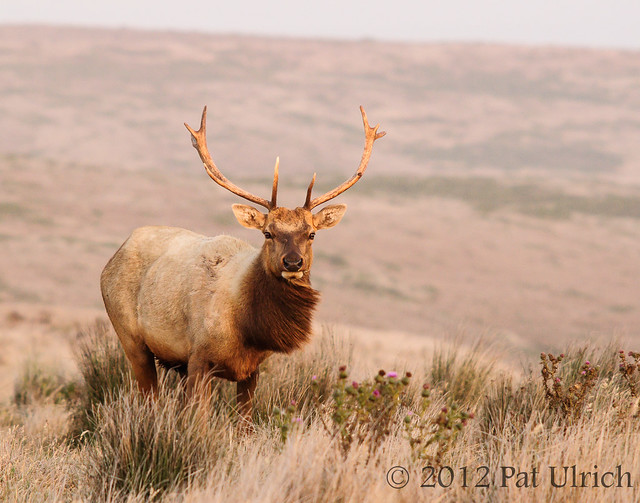 Windblown tule elk at sunset
