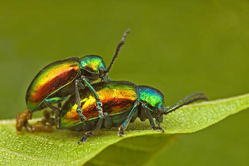 ... Dogbane Beetle [Chrysochus auratus] ...