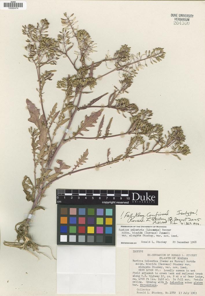 Brassicaceae_Rorippa palustris