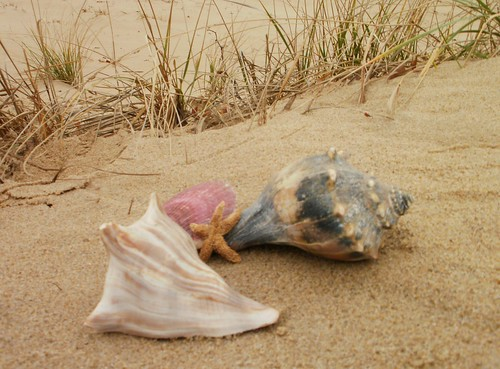 A rare find on the beach, some visitors have found whole whelk sheels.
