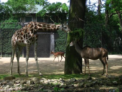 giraffe%20und%20antilope%20fressen