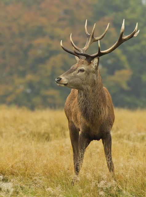 red deerstag