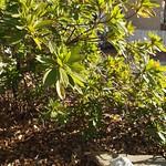 Garden Inventory: Azalea - 5