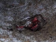 Cadavre de sanglier