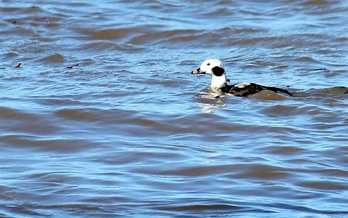 Long-Tailed Duck by Karen Bonsell