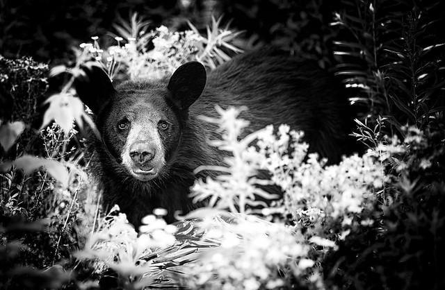 Bear B&W