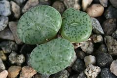 Conophytum obcordellum