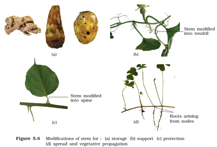 Ncert Class Xi Biology Chapter 5 Morphology Of Flowering Plants